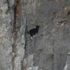 13 fotos de cabras locas en los acantilados