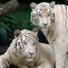 Singapore_Zoo_Tigers