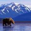 Trolling-The-Landscape-Brown-Bear-Alaska