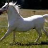 caballo-lippizzano-blanco