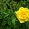 rosa-amarilla