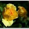 Las mejores fotos de rosas