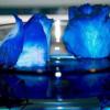 rosas-azules1