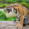 tiger-sitting-snarling