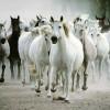 troupa-de-caballos-blancos