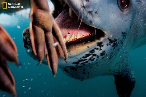 125-anos-de-fotografia-de-national-geographic-foca-leopardo