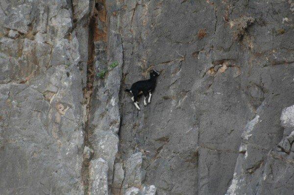 13-fotos-de-cabras-locas-en-los-acantilados-1-cabra-colgando-pared-montaña