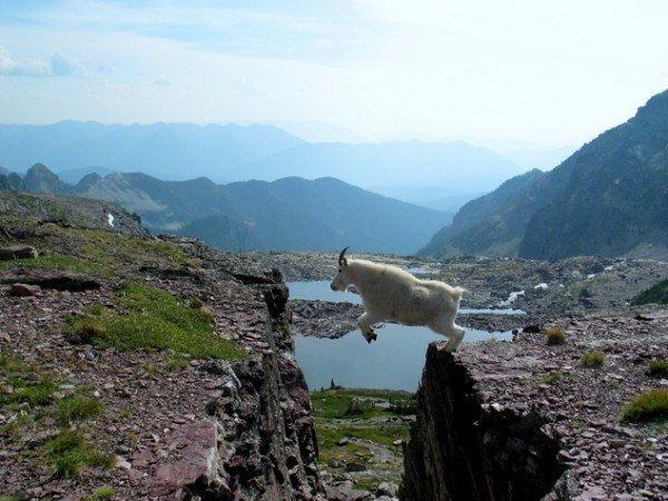 13-fotos-de-cabras-locas-en-los-acantilados-10-cabra-saltando-acantilado