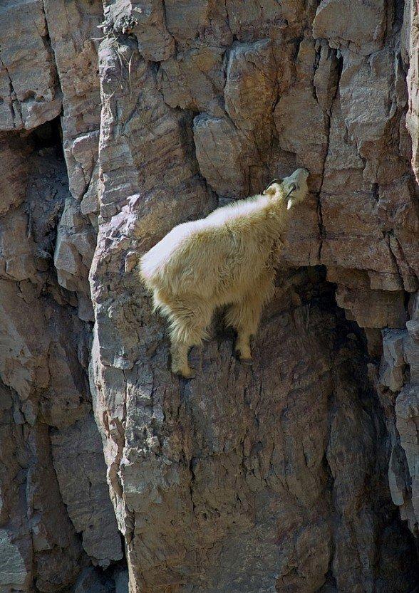 13-fotos-de-cabras-locas-en-los-acantilados-11-cabra-comiendo-de-una-montaña