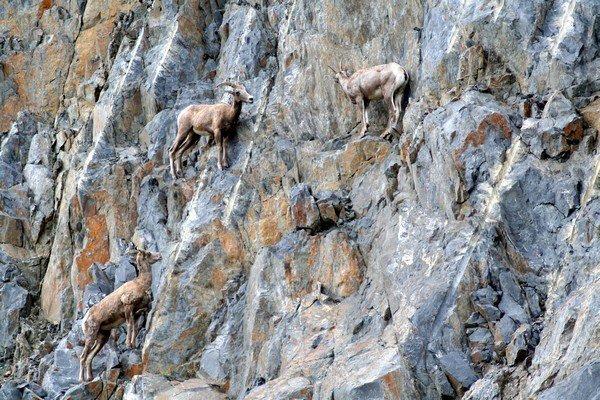 13-fotos-de-cabras-locas-en-los-acantilados-12-cabras-en-el-sur-de-dakota