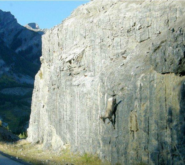 13-fotos-de-cabras-locas-en-los-acantilados-13-cabra-bajando-de-un-acantilado