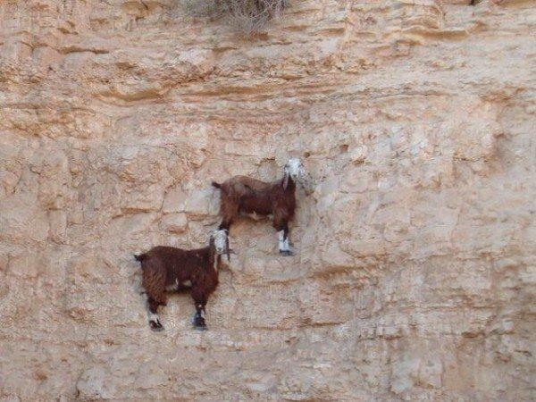13-fotos-de-cabras-locas-en-los-acantilados-2-dos-cabras-en-un-acantilado