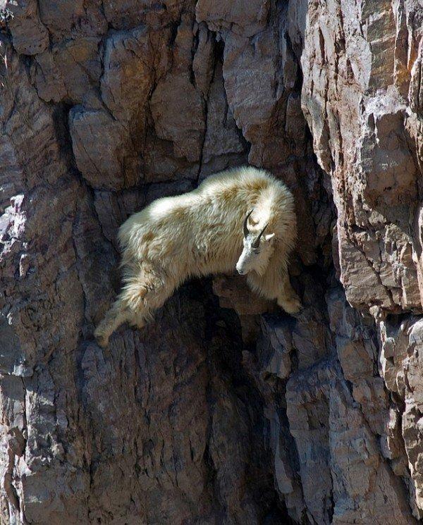 13-fotos-de-cabras-locas-en-los-acantilados-3-cabra-entre-dos-acantilados