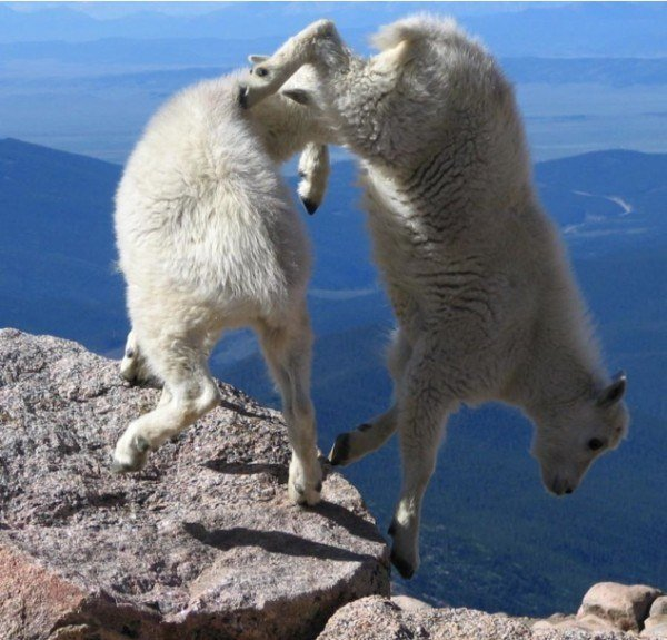13-fotos-de-cabras-locas-en-los-acantilados-4-dos-cabras-en-el-acantilado-de-las-montañas-rocosas-de-colorado