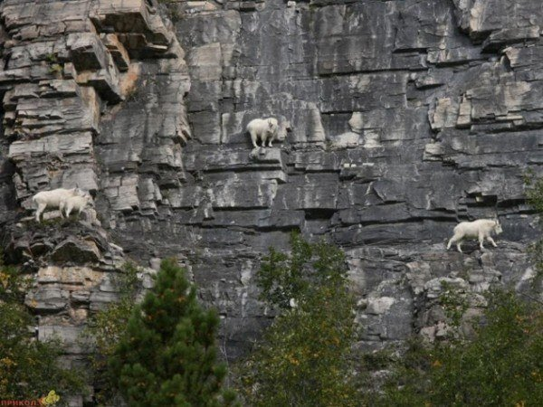 13-fotos-de-cabras-locas-en-los-acantilados-6-cabras-pasando-de-un-lado-al-otro