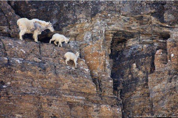 13-fotos-de-cabras-locas-en-los-acantilados-9-cabra-y-cabritillos-acantilado