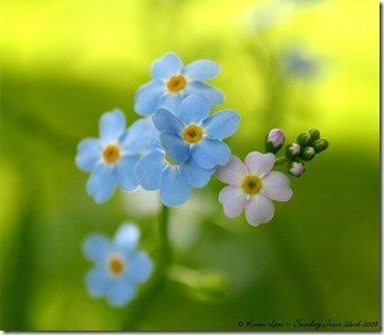 4-forget-me-nots