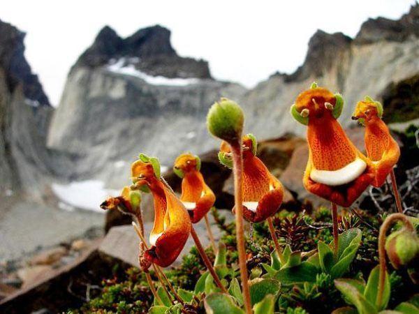 Calceolaria-Uniflora