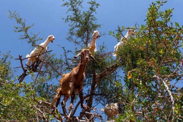 Las-13-fotos-de-cabras-locas-en-los-arboles-