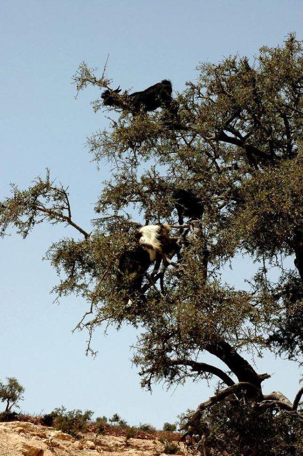 Las-13-fotos-de-cabras-locas-en-los-arboles-cabra-a-punto-de-saltar