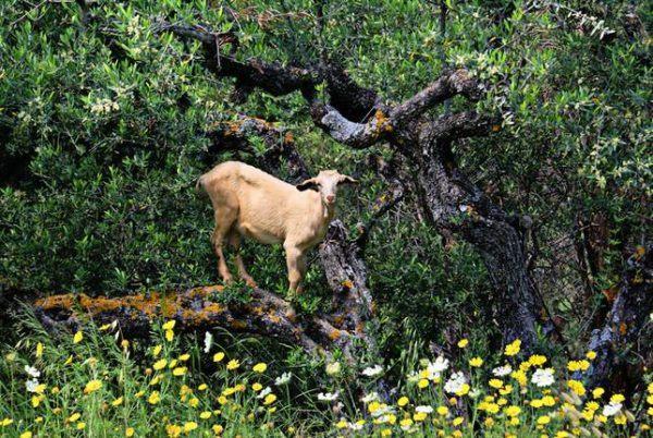 Las-13-fotos-de-cabras-locas-en-los-arboles-cabra-arbol-bajo