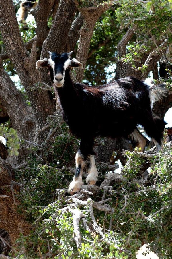 Las-13-fotos-de-cabras-locas-en-los-arboles-cabra-bajando-de-arbol