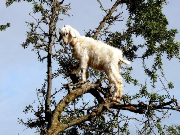 Las-13-fotos-de-cabras-locas-en-los-arboles-cabra-blanca-en-un-arbol