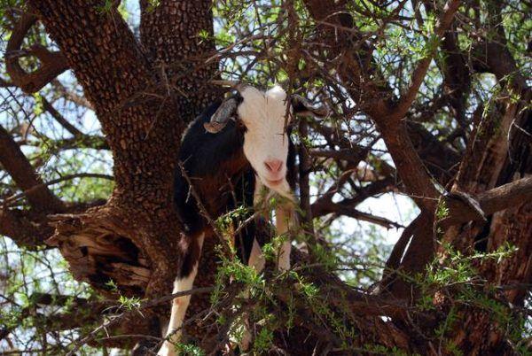 Las-13-fotos-de-cabras-locas-en-los-arboles-cabra-blanca-y-negra-sobre-arbol