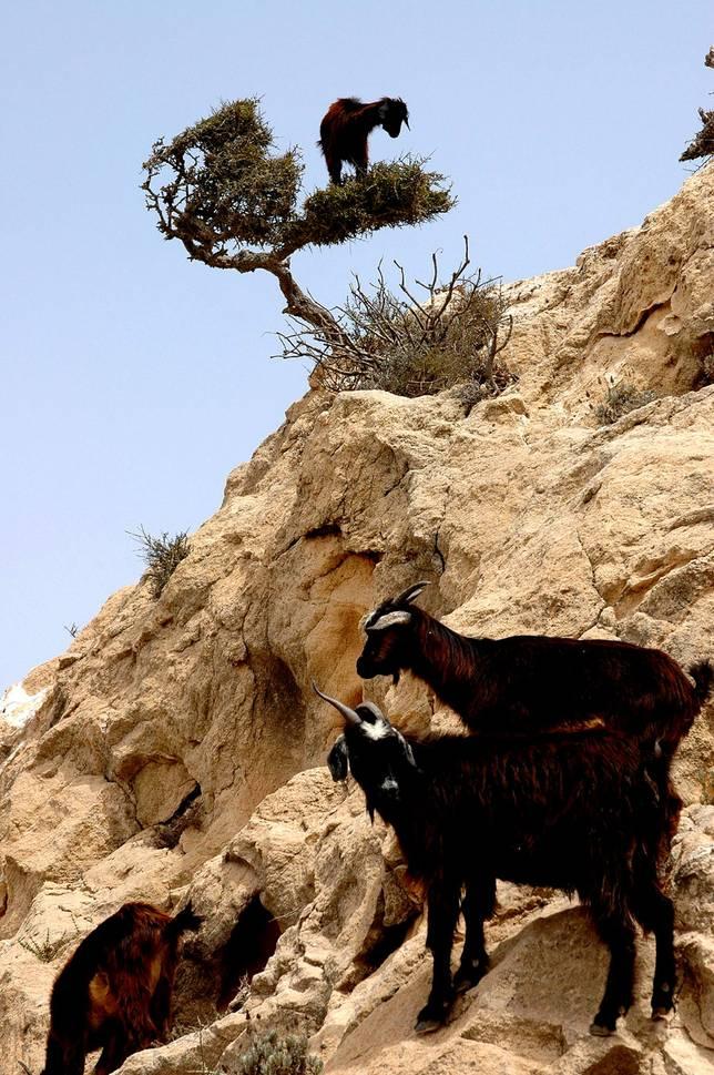 Las-13-fotos-de-cabras-locas-en-los-arboles-cabra-en-un-arbol-en-un-acantilado