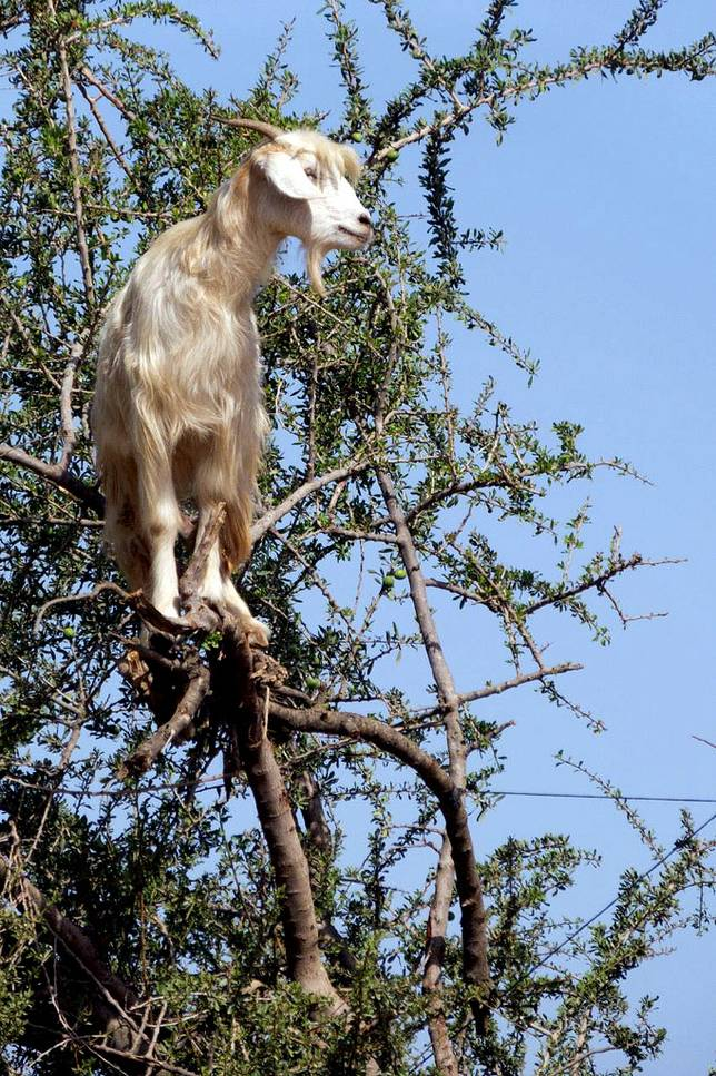 Las-13-fotos-de-cabras-locas-en-los-arboles-cabra-rama-arbol