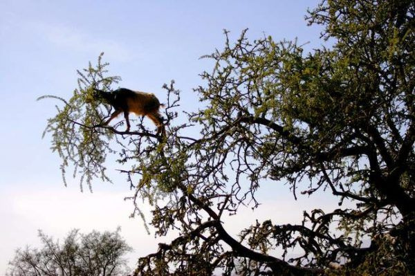 Las-13-fotos-de-cabras-locas-en-los-arboles-cabra-sola-en-lo-alto-de-un-arbol