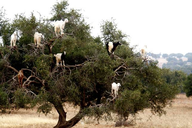 Las-13-fotos-de-cabras-locas-en-los-arboles-cabras-blancas-sobre-arboles