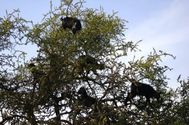Las-13-fotos-de-cabras-locas-en-los-arboles-cabras-negras
