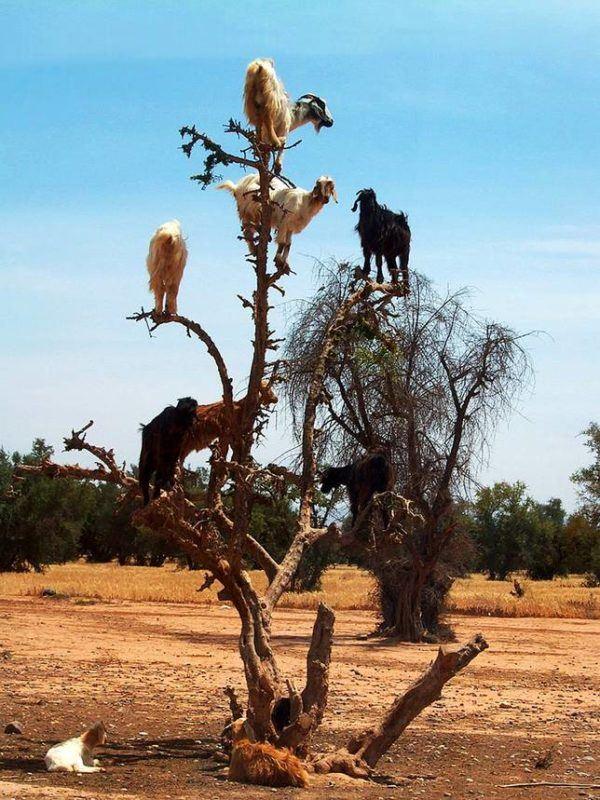 26 Fotos De Cabras Locas En 225 Rboles Y Acantilados