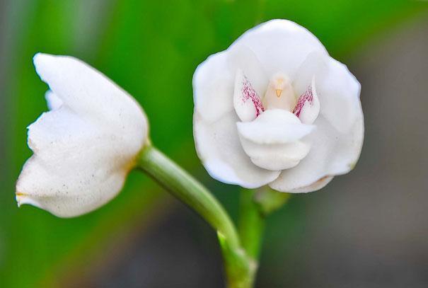 Orquídea Paloma (Peristeria Elata)