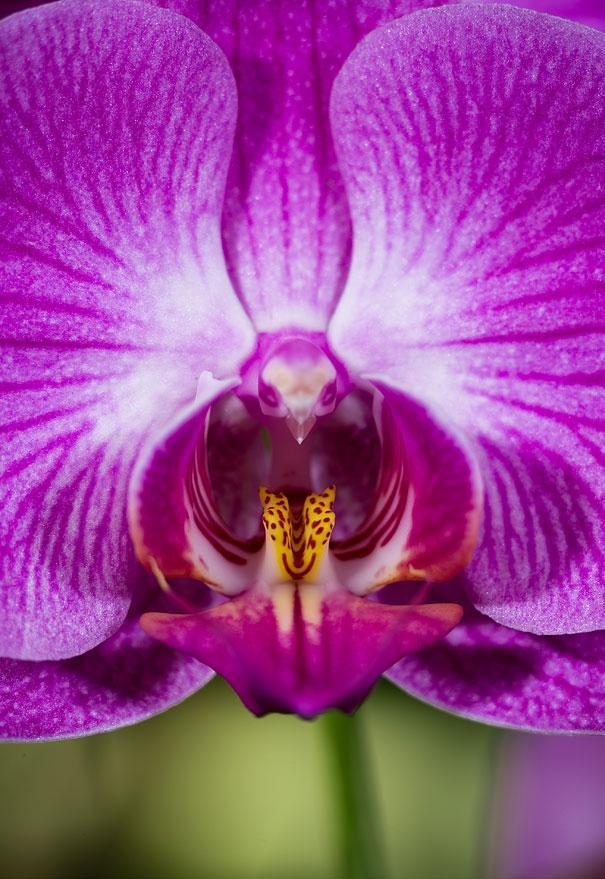 Orquídea-Polilla