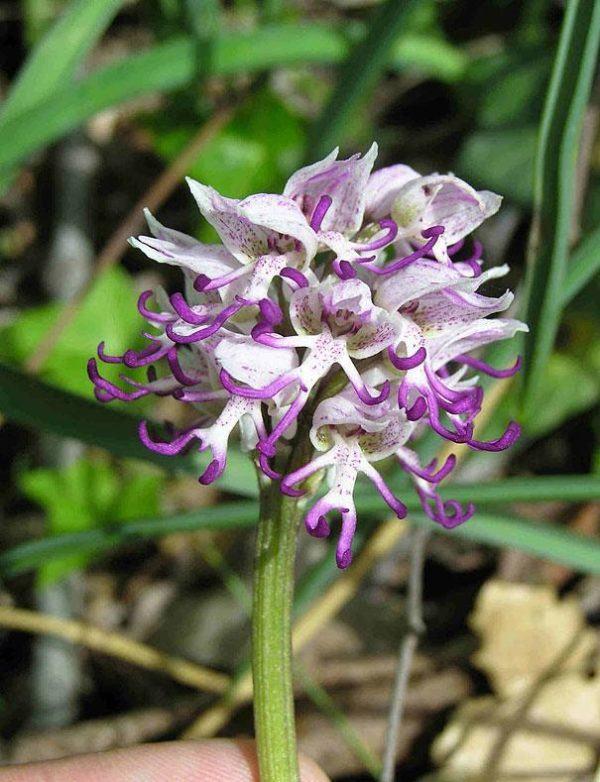 Orquídea-del-Hombre-Desnudo