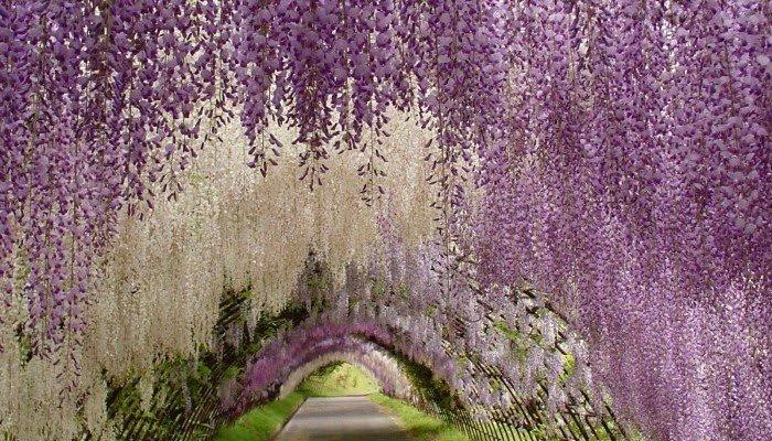 Túnel-Wisteria-Tochigi-Japón