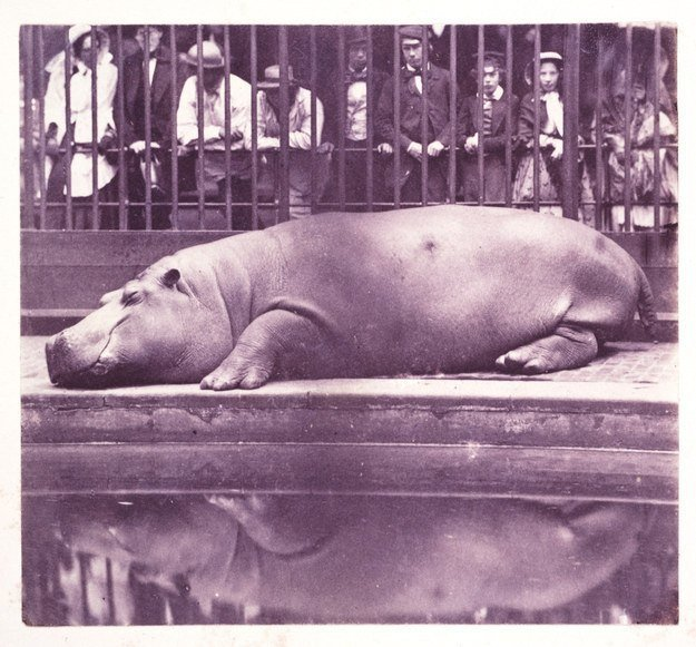 The Hippopotamus at the Zoological Gardens