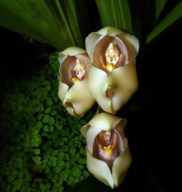 flor Anguloa Uniflora