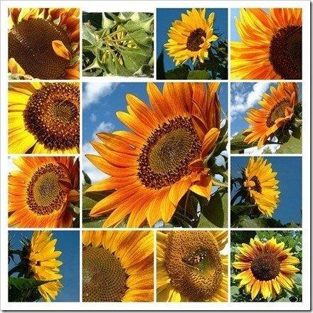 girasol collage