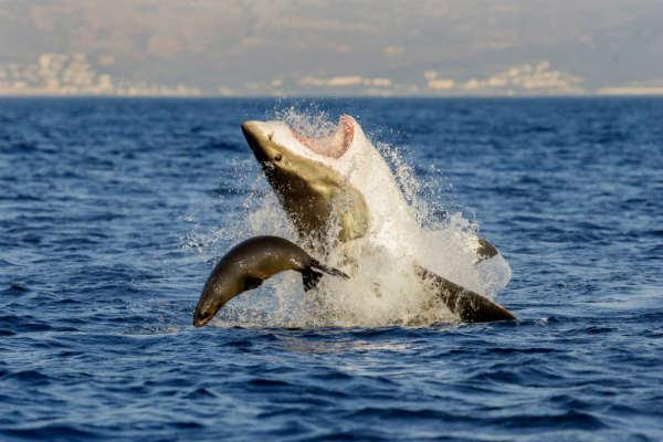 las-10-fotos-mas-impactantes-del-2013-tiburon-en-sudafrica