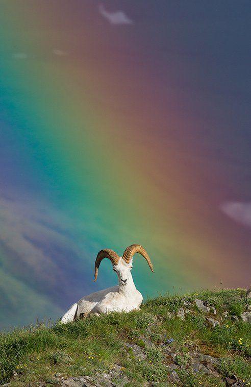 las-mejores-fotos-de-animales-salvajes-cabras