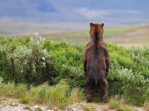 las-mejores-fotos-de-animales-salvajes-oso-espalda