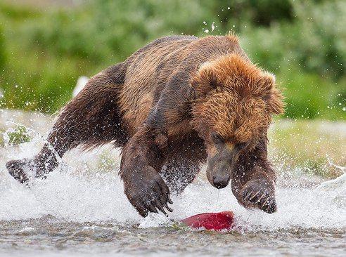 las-mejores-fotos-de-animales-salvajes-oso-pescando