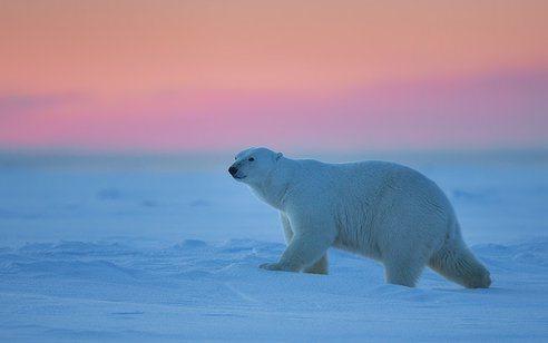 las-mejores-fotos-de-animales-salvajes-osos-polares-caminado