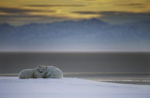 las-mejores-fotos-de-animales-salvajes-osos-polares