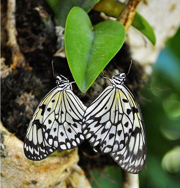 las-mejores-fotos-de-corazones-mariposa