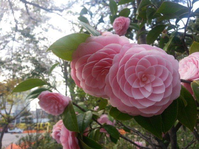 las-mejores-fotos-de-flores-camelia-japonica