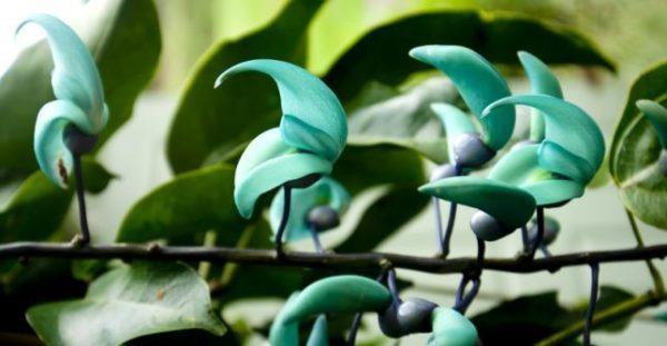 las-mejores-fotos-de-flores-enredadera-de-jade